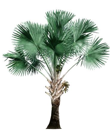 palm tree isolated on white background. Stock Photo