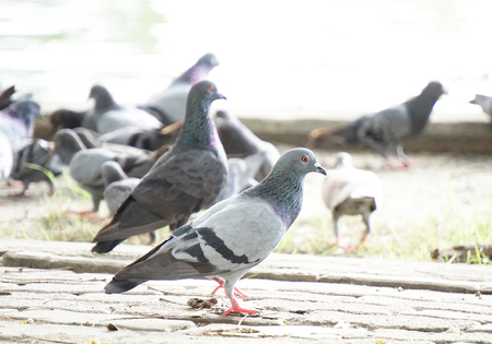 Group of pigeon in the park.