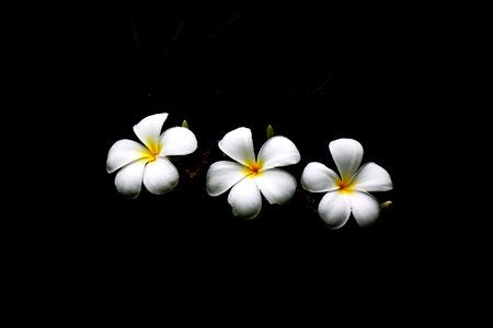 High contrast Plumeria flowers on dark background Stock Photo