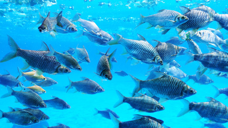 Group of silver barb fish in water.