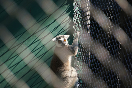 Portrait of ring tailed lemur in cage.
