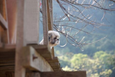 Shih-tzu dog standing on the balcony of the house and looked at the mountain. Zdjęcie Seryjne