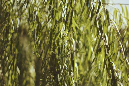 Tropical green leaf in the garden. Liu leaf. 写真素材