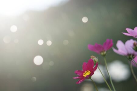 Colorful cosmos flowers with blurred background in the garden. 스톡 콘텐츠