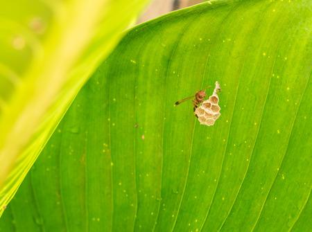 spawning: hornet se desove de permiso en la naturaleza Foto de archivo