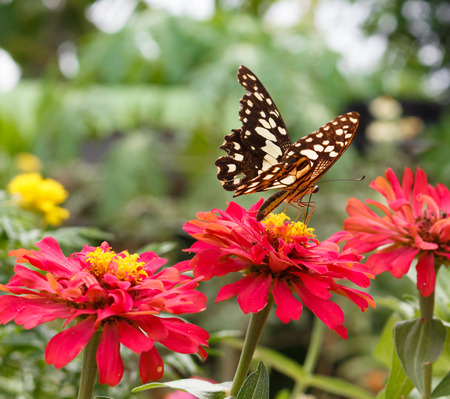 feed up: butterfly on zinnia flower Stock Photo