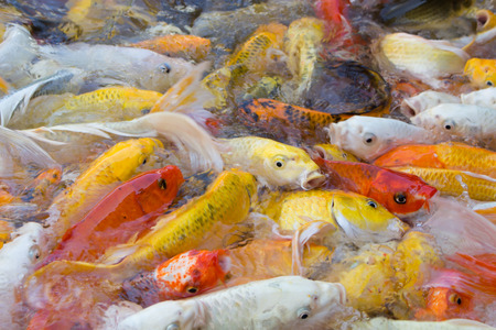 Koi Fish swimming beautiful color variations natural organic photo