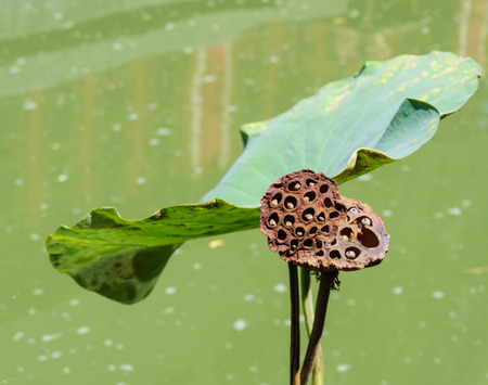 egyptian lily: old lotus seed on water background