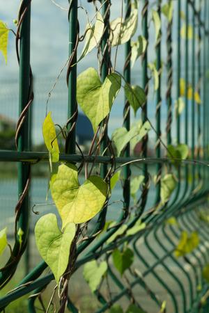 encroach: creeping weeds on fence of stadium