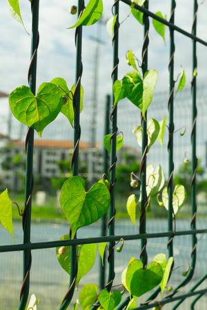 creeping: creeping weeds on fence of stadium