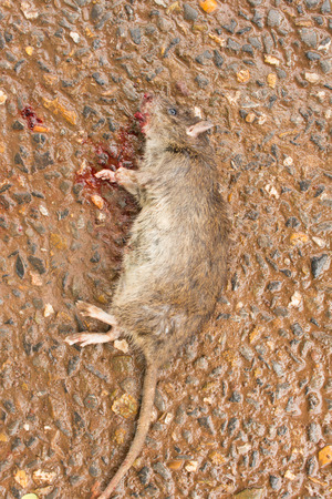 dead rat: Dead rat on the street,accident by car