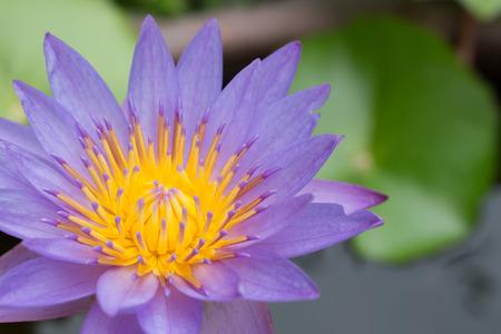 seedpod: close up of lotus flower