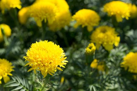 garden marigold: Marigold In Garden Stock Photo