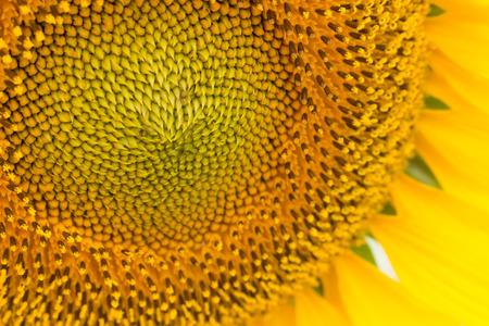 close up: close up of sun flower