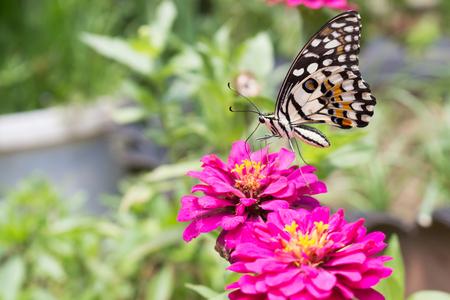 plexippus: butterfly on zinnia flower Stock Photo