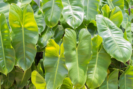 greenery: leaf or greenery of a rainforest Stock Photo