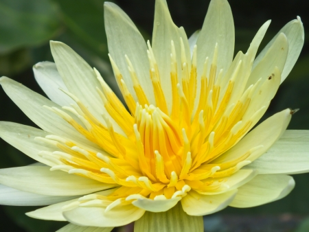yellow lotus blooming photo