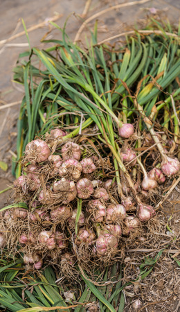 Freshly harvested garlic for sale in local market photo