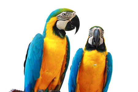 Parrots Isolated Stock Photo