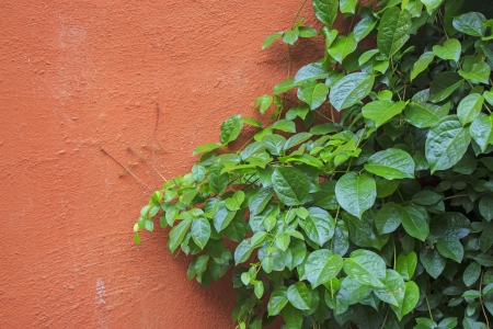 The green creeper plant on a brick wall for background photo