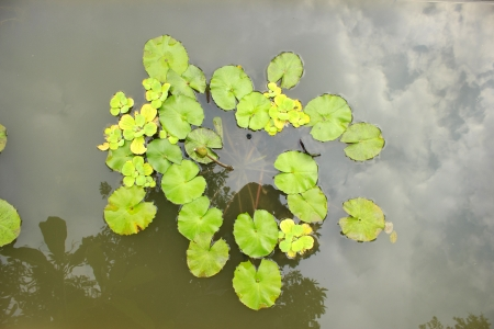 limbo: lotus blossoms blooming on pond