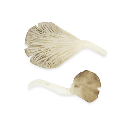 oyster mushrooms on a white background. Stock Photo