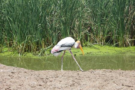 oscitans: Asian Openbill Stork