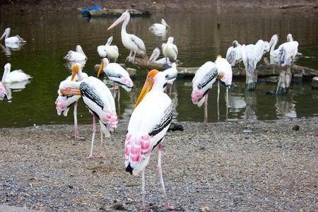 openbill: Asian Openbill Stork