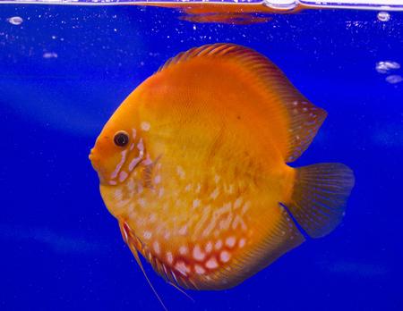 Pompadour, Discus fish Stock Photo
