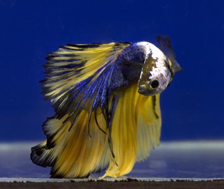 freshwater aquarium fish: siamese fighting fish Stock Photo