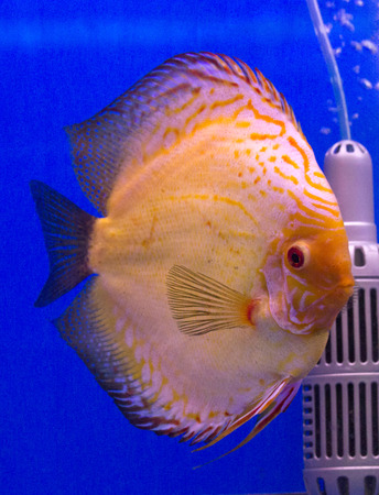 discus fish: Pompadour, Discus fish Stock Photo