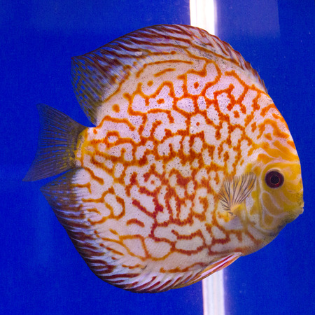 discus: Pompadour, Discus fish Stock Photo