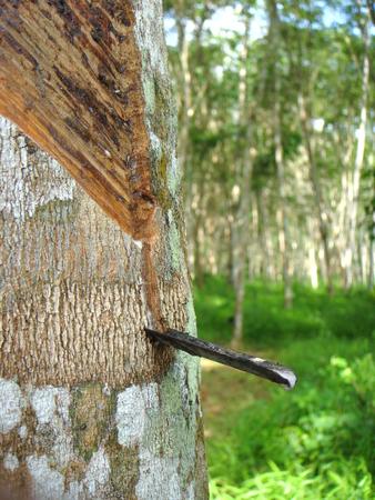 cash crop: rubber tree