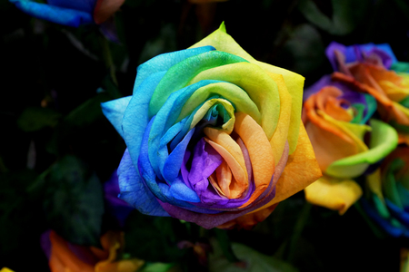 A unique and very special rainbow rose Stock Photo
