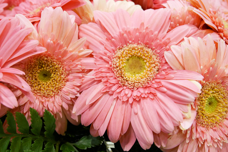 Pink Gerbera Flower Macro Isolated on White Background Stock Photo