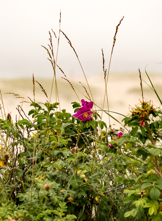 Pink beach flower on a foggy day in Cape Cod.