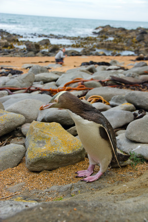 yellow eyed penguin: Yellow Penguin Stock Photo