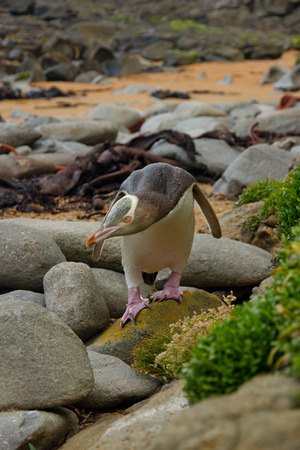 oamaru: Yellow Penguin Stock Photo