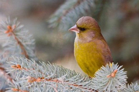 greenfinch: Greenfinch