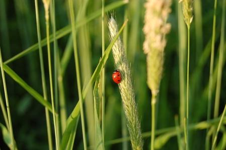 Ladybird on spikelet. photo