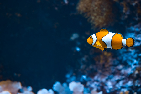 Clown fish and rocks in marine aquarium. Reef fish swimming. Dark background. Amphiprion Stok Fotoğraf