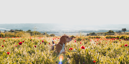 Beagle dog on a meadow of wild flowers and poppies. Spring panoramic look at sunset.