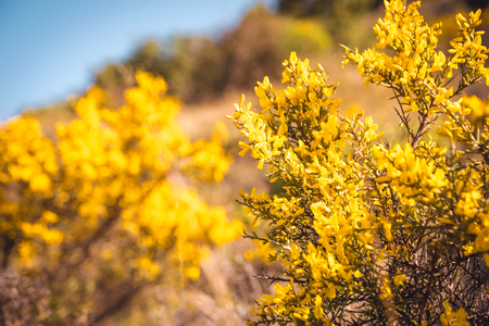 Genista Scorpius. Wild yellow flowers nature background. Countryside plant against blue sky