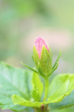 Fresh pink Chinese Rose blossom Stock Photo - 18166555
