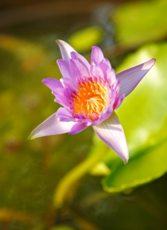 vividly: violet lotus with vividly yellow pollen in sunlight