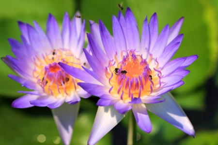 vividly: violet lotus with vividly yellow pollen and a flock of bee flying around Stock Photo