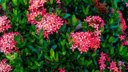 Macro shot of a group of red and pink Thai Ixora flower with green leaf blooms in the garden on the sunny day. Its species is Ixora coccinea under Rubiaceae family Stock Photo