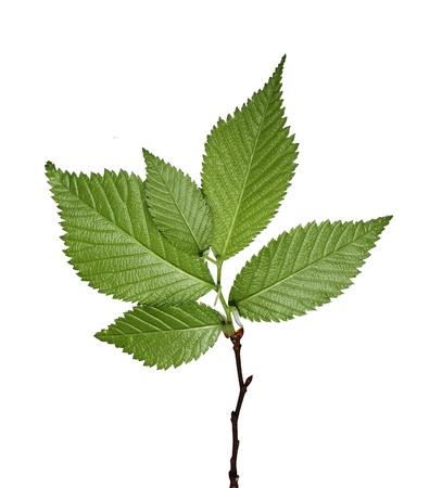 minutiae: Isolated Green leaves