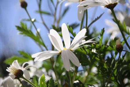 chamomile, flowers Stock Photo - 13489955