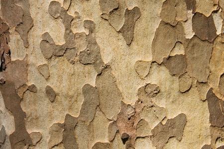 プラタナス: 樹皮の背景、シカモア 写真素材